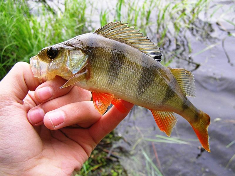 baby rockfish_9.jpg